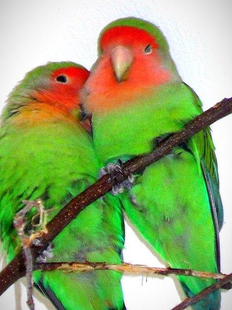 голос попугая неразлучника