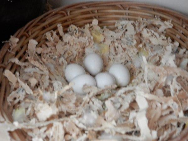 яйца неразлучников