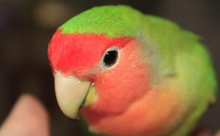 красивый неразлучник попугай