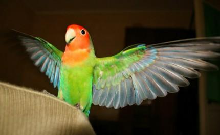 неразлучник расправил крылья