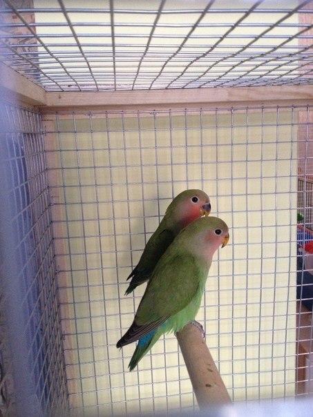 парочка попугаев неразлучников фото
