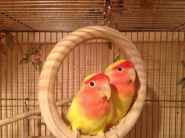 парочка попугаев