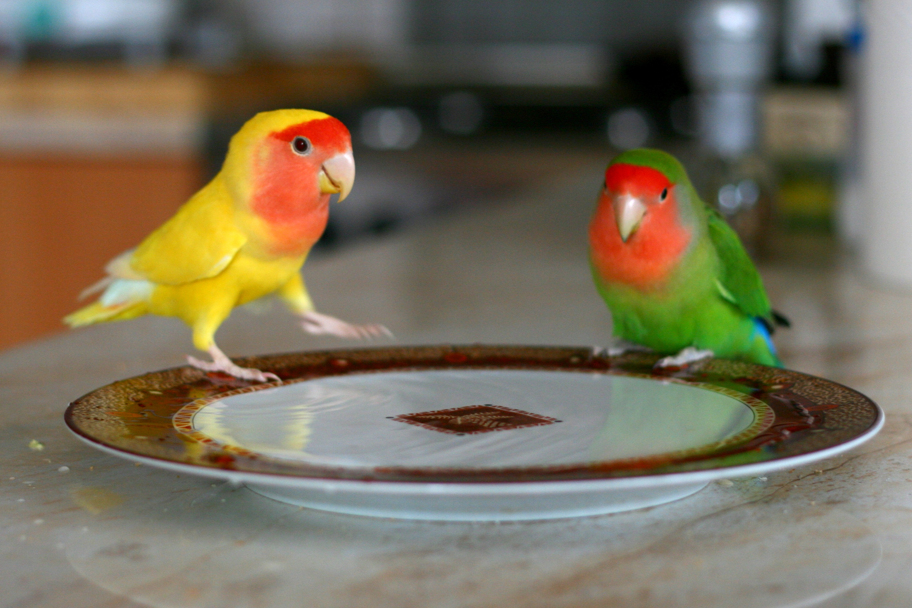 питание попугаев неразлучников