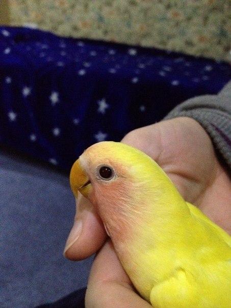 попугай сидит на руке