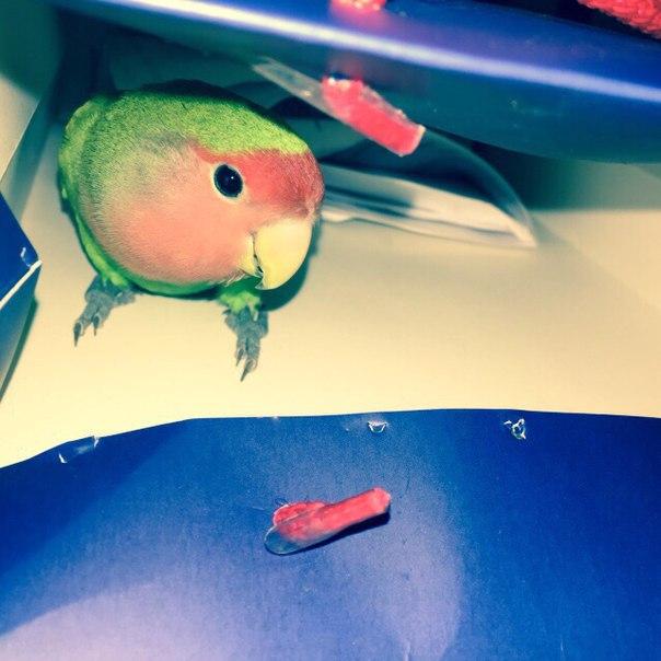 Сколько живут неразлучники попугаи в домашних условиях 755