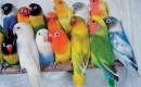 виды попугаев неразлучников