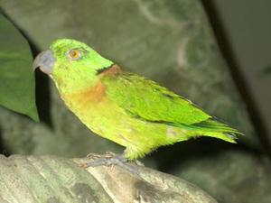 зеленоголовый неразлучник