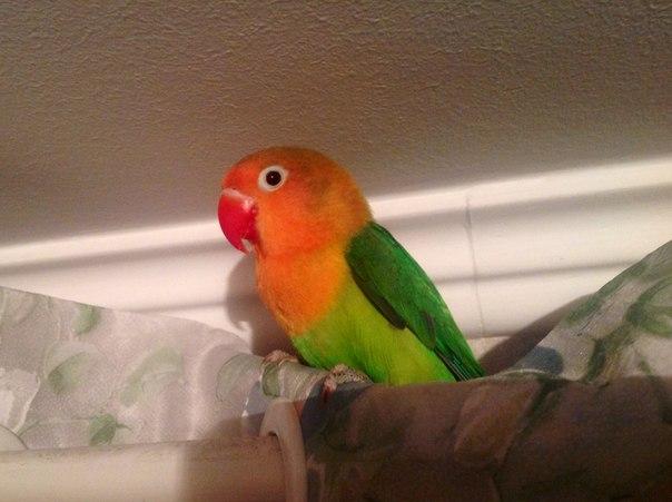 звуки попугаев неразлучников