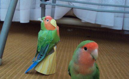 неразлучник попугай фото