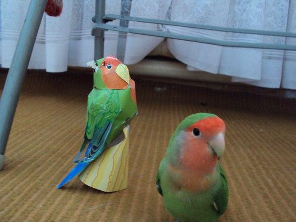Сколько живут неразлучники попугаи в домашних условиях 74