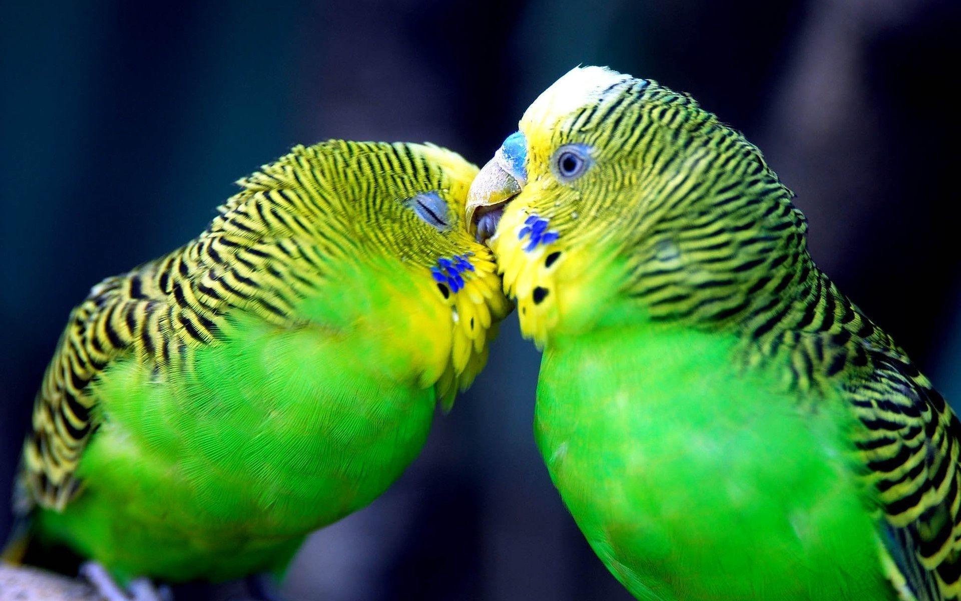 чешет другого попугая