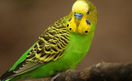 поиграть с волнистым попугаем