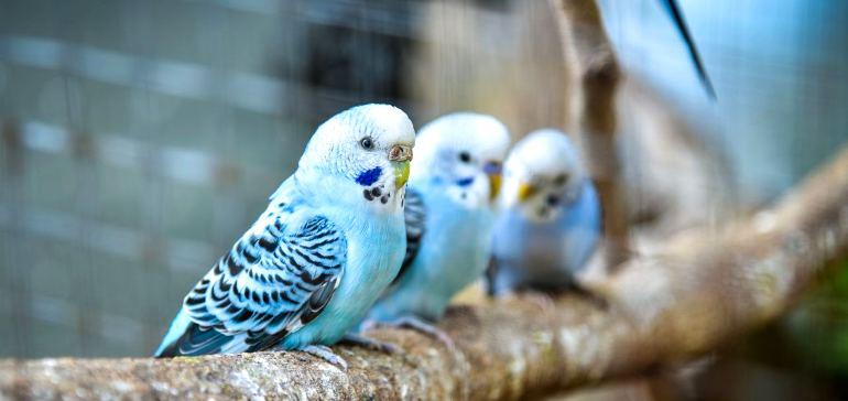 стая волнистых попугаев