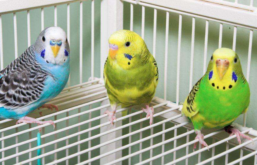 волнистые попугаи сидят на клетке