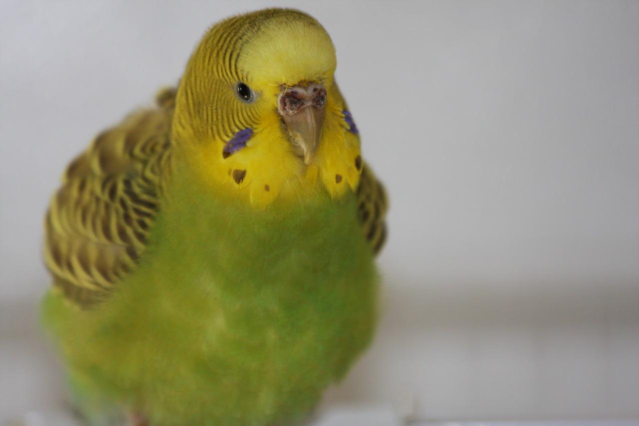 нахохлившийся волнистый попугай