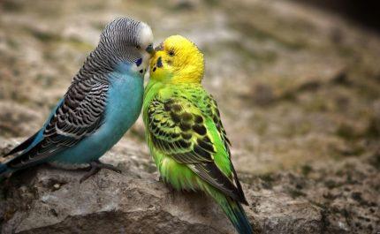 любовь у волнистых попугаев