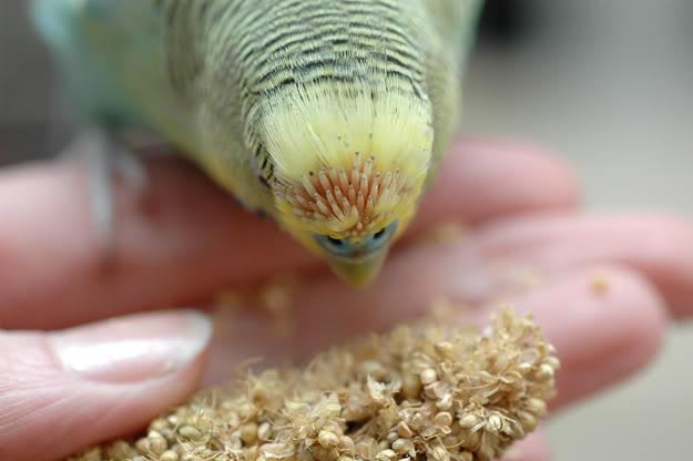 попугай лысеет фото