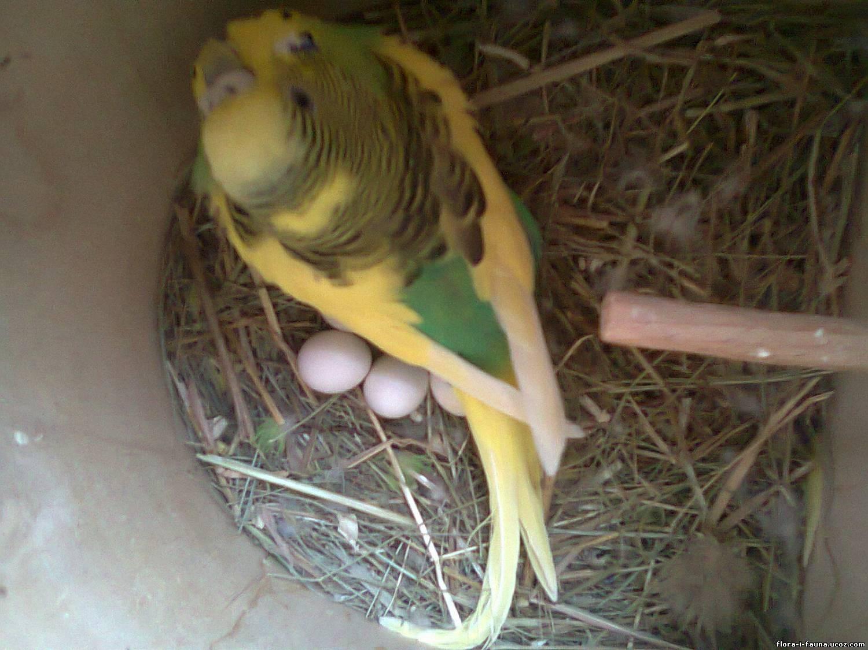 самка волнистого попугая на кладке