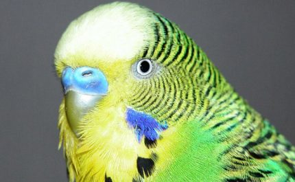 волнистый попугай болеет