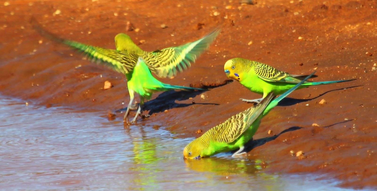 волнистые попугаи на водопое