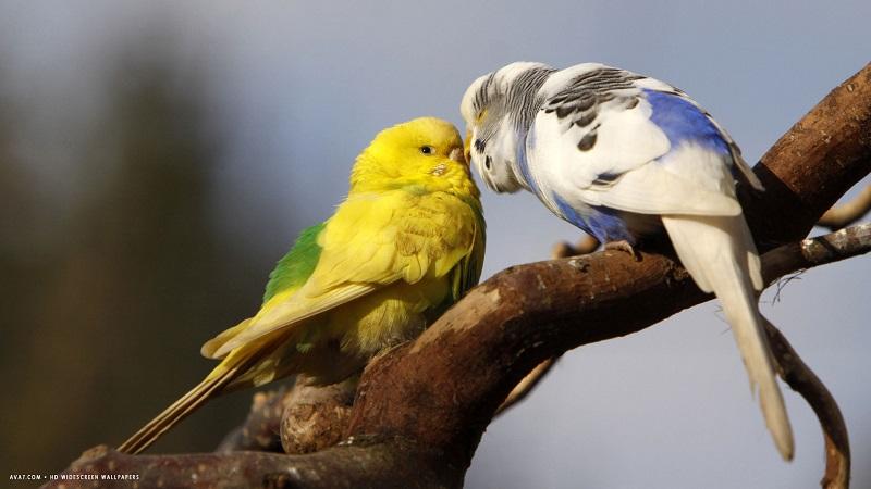 целуются попугаи