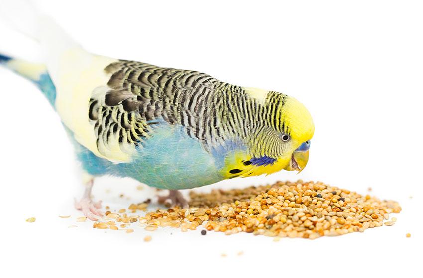 попугай кушает зерна