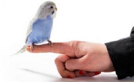 попугай сидит на пальце