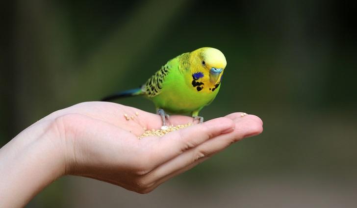 волнистый попугай на ладони