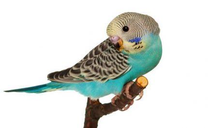 волнистый попугай сидит на веточке
