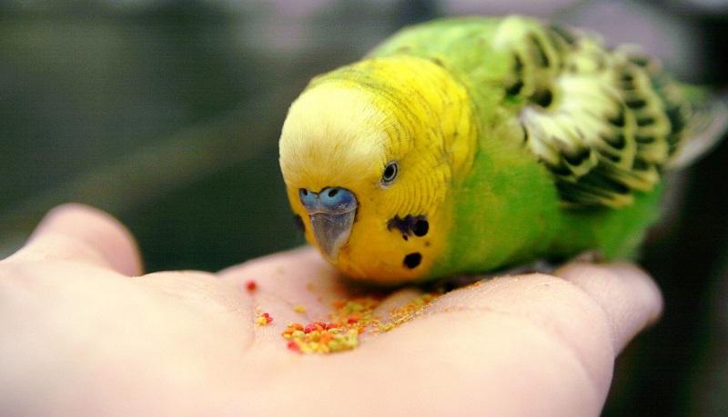 волнистый попугай кушает с рук