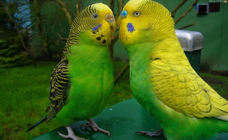 два попугая играют