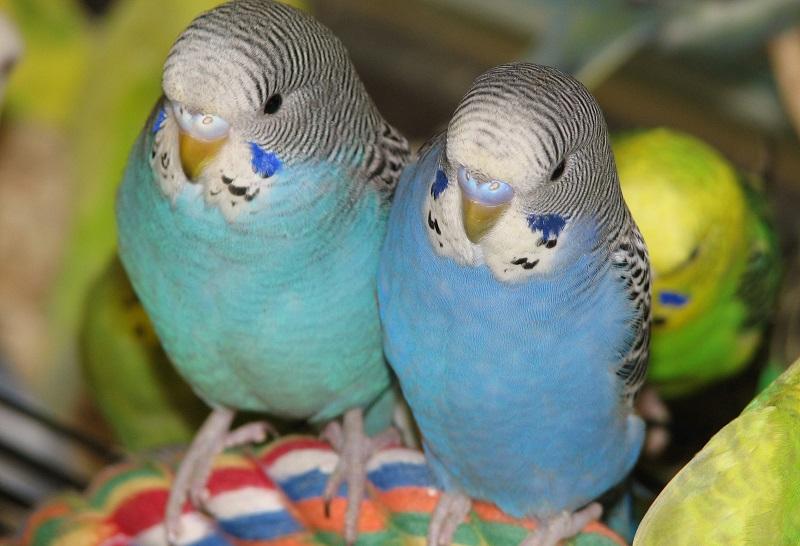 красивая парочка птичек