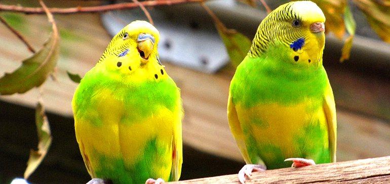 пара попугаев играет