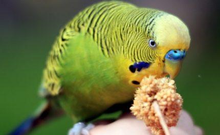 попугай грызет веточку