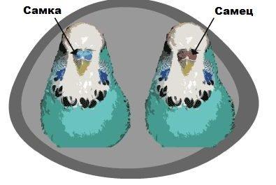самка и самец попугаев
