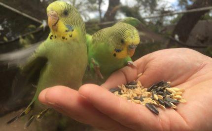 волнистые попугаи на руках