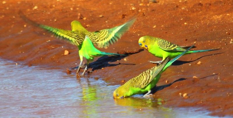 волнистые попугаи пьют воду