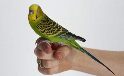 волнистый попугай сидит на пальце