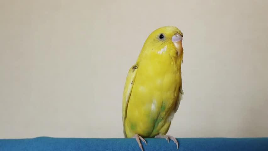 желтый попугайчик