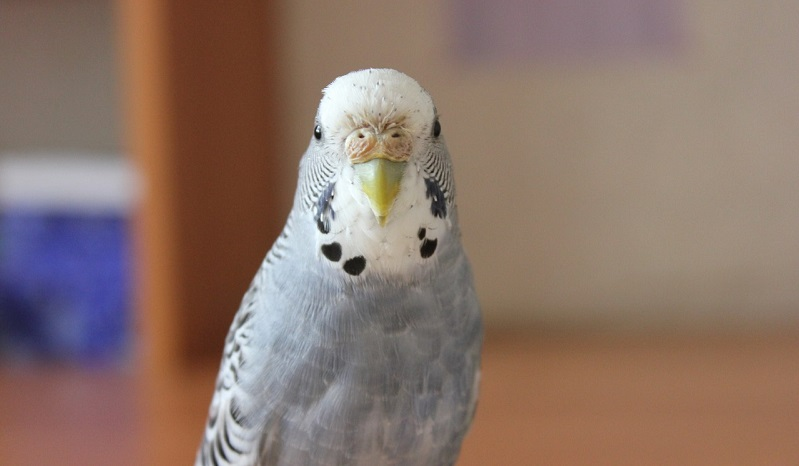 нарост у попугая