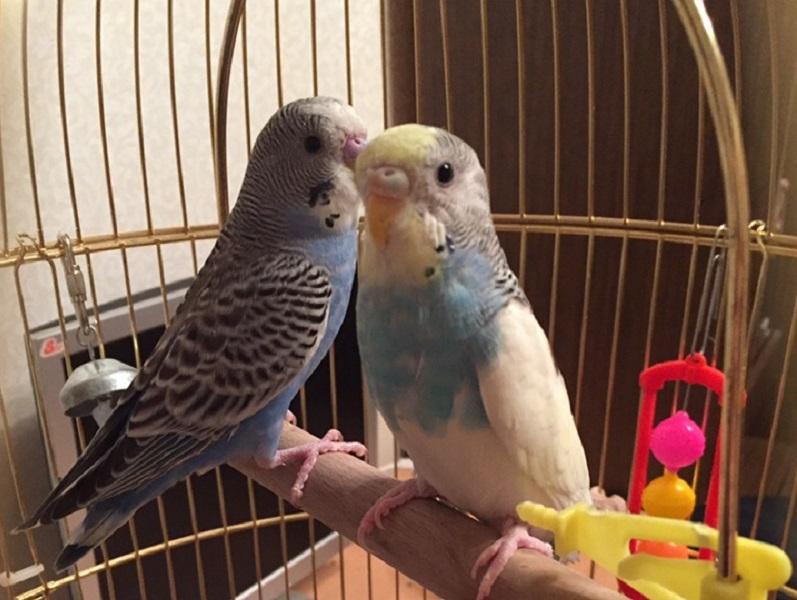 пара красивых попугаев
