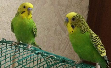 пара зеленых попугаев