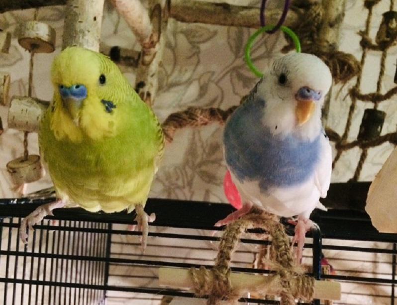 синий и желтый попугаи