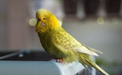желтая птичка