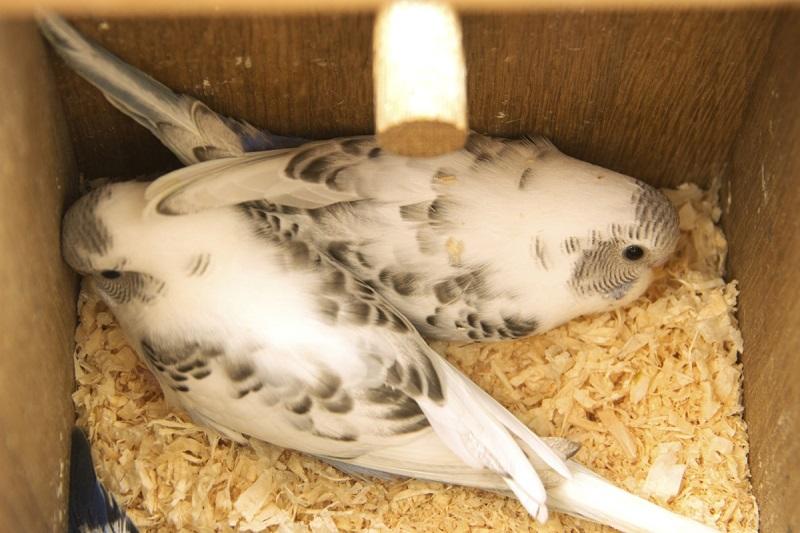 два маленьких птенчика