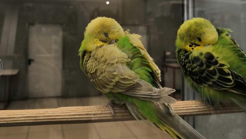 два попугайчика спят
