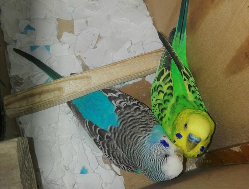 два волнистых попугая в гнезде