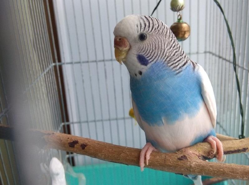голубой попугайчик