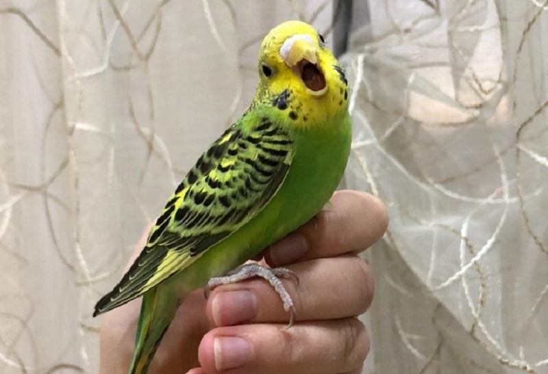 волнистый попугай кричит