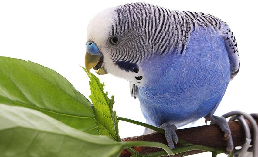 волнистый попугай ест травку